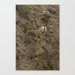 Baby Mountain Goat in Yellowstone National Park, WY Canvas Print