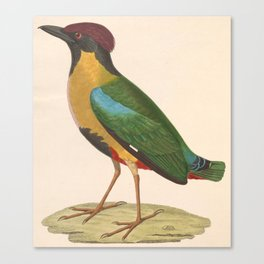 Pitta Versicolor 1838 Canvas Print