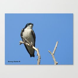 Male Tree Swallow Canvas Print