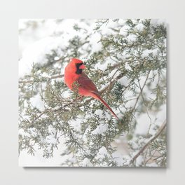Cardinal on a Snowy Cedar Branch (sq) Metal Print