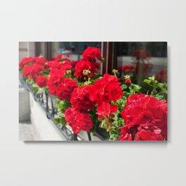 Bunches of vibrant red Pelargonium Metal Print
