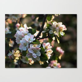 Apple Blossom 2 Canvas Print