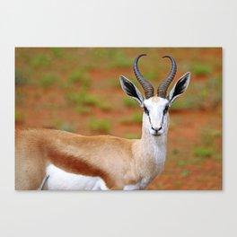 Springbok in Namibia, wildlife Canvas Print