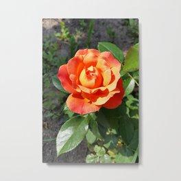 shining yellow rose Metal Print