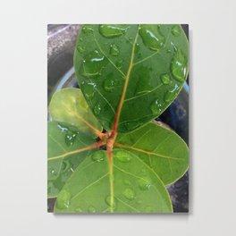 Raindrops on Baby Sea Grape Leaves Metal Print