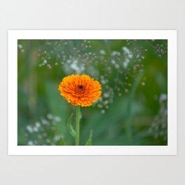 Calendula officinalis  5497 Art Print