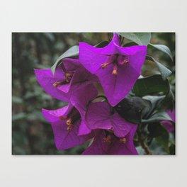 Bougainvillea Purple Canvas Print