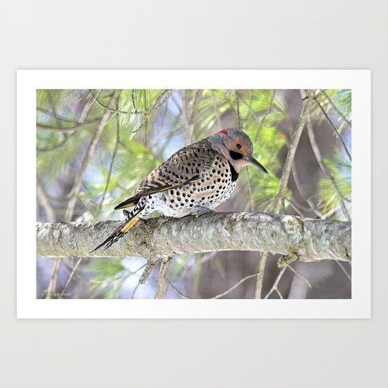 Northern Flicker Showing His Colors Art Print