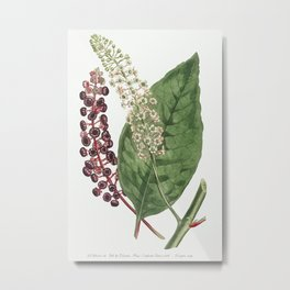 Phytolacca Decandra (American Pokeweed) (1806) Image from The Botanical Magazine or Flower Garden Di Metal Print