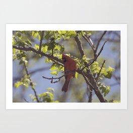 Male Northern Cardinal In Summer Art Print