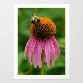 Coneflower with Bee Art Print
