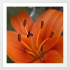 Orange Tiger Lily Art Print