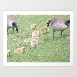 Baby Canadian Geese, Wild Geese, Animals in the Wild Art Print