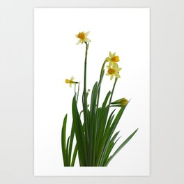Narcissus flower Art Print