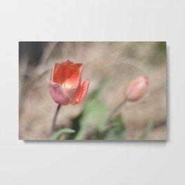 tulips in tall grass Metal Print