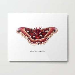 Promethea Silkmoth (Callosamia promethea) Metal Print