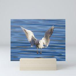 Black-headed gull (Chroicocephalus ridibundus) Mini Art Print