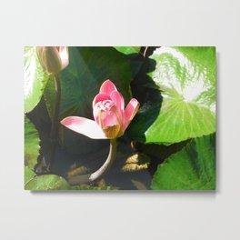 Hanalei Lotus, by Mandy Ramsey, Haines, AK Metal Print