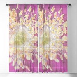 Beach Rose (Rosa rugosa) close up Sheer Curtain