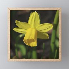 Golden Daffodil Framed Mini Art Print