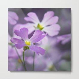 Primrose macro purple 021 Metal Print