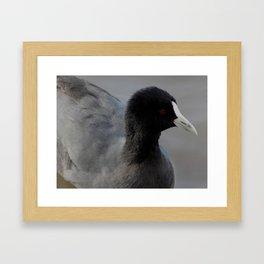 Australian Coot #1 Framed Art Print