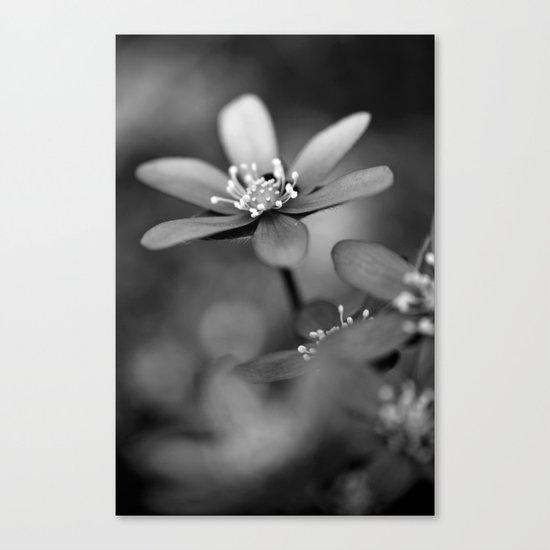 Blue spring flower Hepatica in bw Canvas Print