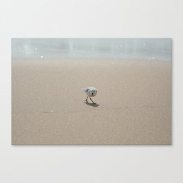 Sandpiper bird Canvas Print