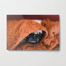Nat. Geo Pug in a Blanket Metal Print