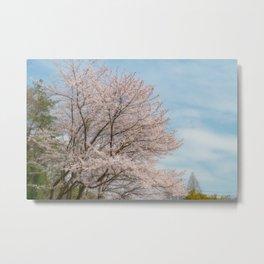 cherry blossom and blue sky Metal Print
