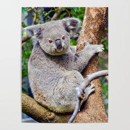 Australian Koala Bear Photo Poster