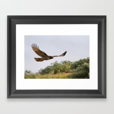 Red-tailed Hawk in Flight Framed Art Print