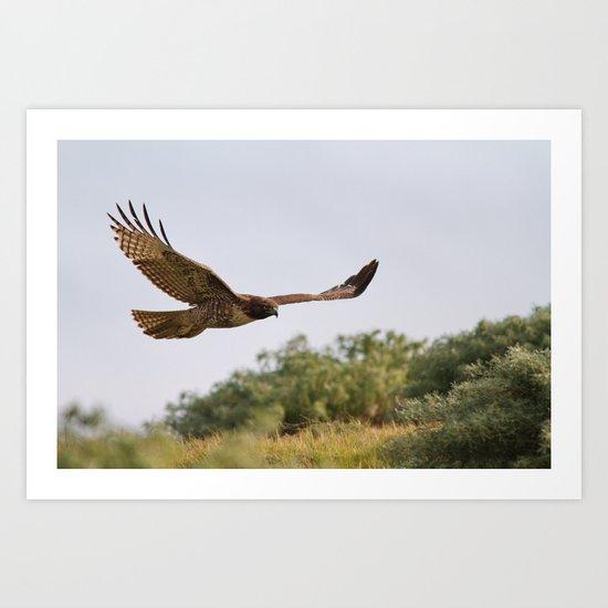 Red-tailed Hawk in Flight Art Print