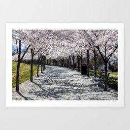 Cherry Blossoms Bloom along Sandy Path at Utah State Capitol Art Print