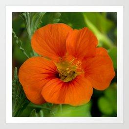 orange majus flower Art Print