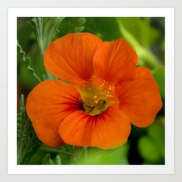 orange majus flower Art Print