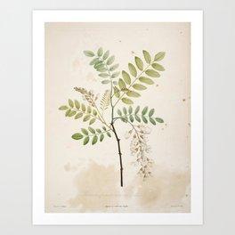 Black Locust Botanical Illustration Art Print