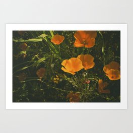 California Poppies 011 Art Print