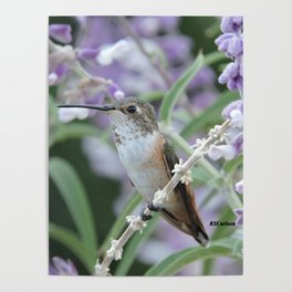 Ms. Hummingbird's Break Time in Mexican Sage Poster