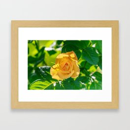 Gold rose Framed Art Print