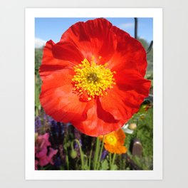 Orange Iceland Poppy Art Print