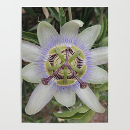 Passion Flower Blossom Poster