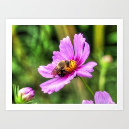 Bumble Bee on Pink Cosmos Art Print