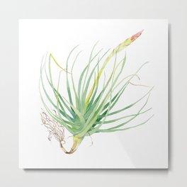 Flowering air plant Tillandsia botanical watercolour illustration Metal Print
