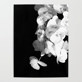 White Orchids Black Background Poster