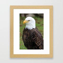 American Bald Eagle on a Roost Framed Art Print