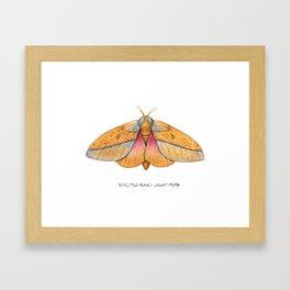 Bisected Honey Locust Moth (Sphingicampa bisecta) Framed Art Print