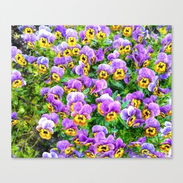 Purple and yellow pansy field Canvas Print
