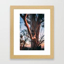 Koala at Sunset Framed Art Print