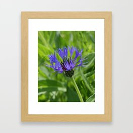 Purple Knapweed Framed Art Print